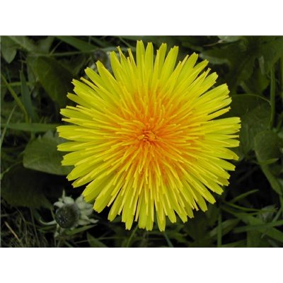 Mniszek Kwiat 25g